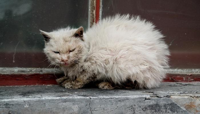 Jenis Penyakit Kucing