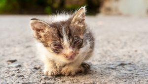 Anak Kucing Sakit Mata