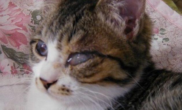 Sakit Mata Pada Kucing Yang Harus Diwaspadai