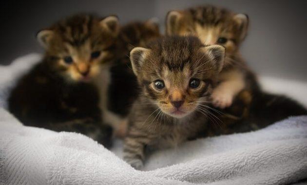 Tips dan Panduan Merawat Kucing Kecil