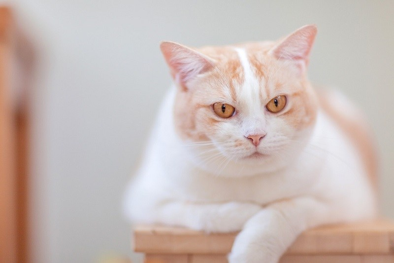 Salah satu perubahan kucing setelah dikebiri adalah gemuk