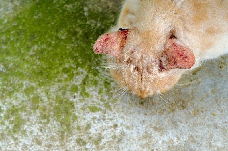 Jamuran pada kucing