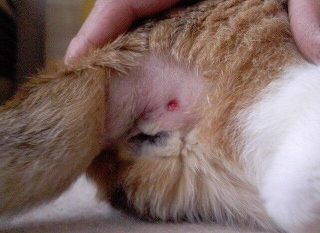 Cara Mengobati Luka Kucing (Metode Obat dan Alami ...