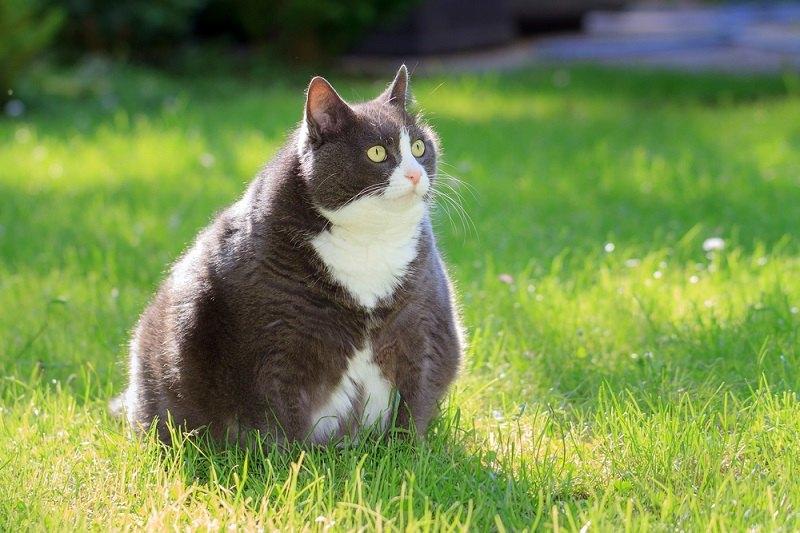 Cara Menggemukkan Kucing dengan cepat