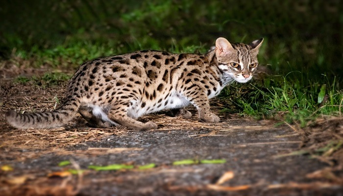 Makanan Kucing Hutan