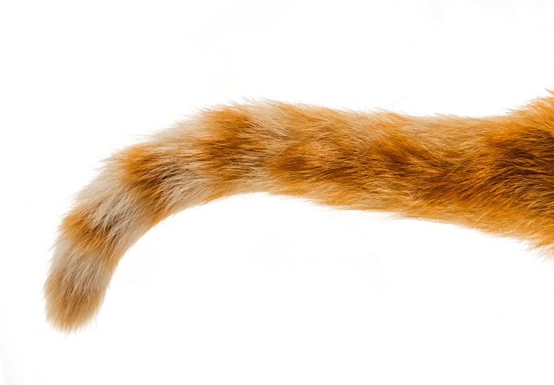 Berbagai Fungsi Ekor Kucing