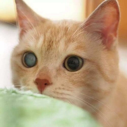 ciri kucing diabetes