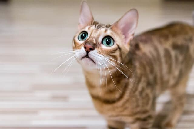 Cara Merawat Kucing Bengal