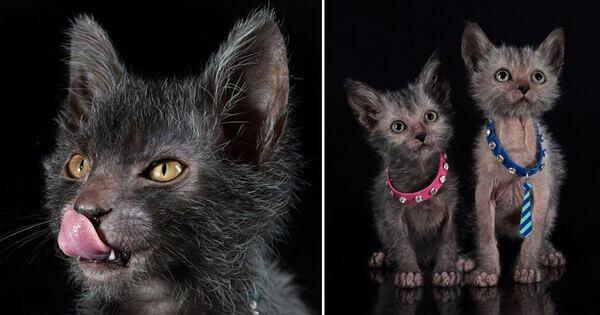 Kucing Lykoi