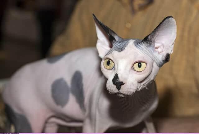 Jenis-Jenis Kucing di Indonesia Paling Populer