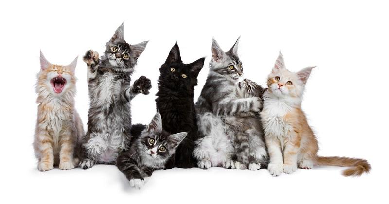 Panduan Lengkap Cara Merawat Kucing Maine Coon