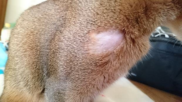 Psikogenik Alopecia pada kucing