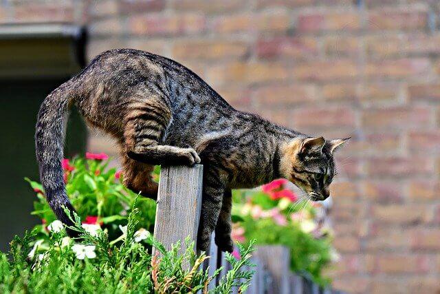fungsi ekor kucing