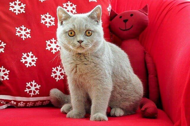 Kucing Terbesar di Dunia