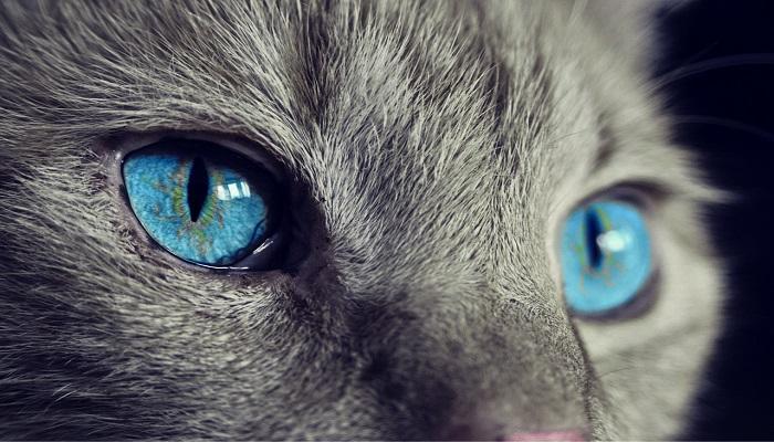 Jenis Kucing Bermata Biru