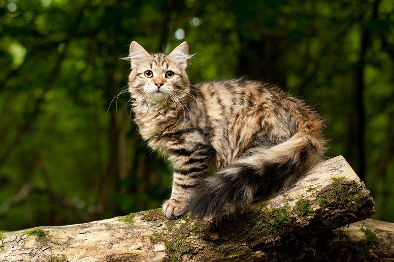 Kucing terbesar di dunia kucing Siberian