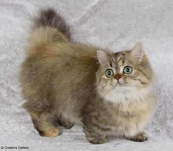 8 Jenis Kucing Kaki Pendek Yang Menggemaskan