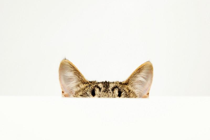 Ciri Khusus Kucing Telinga