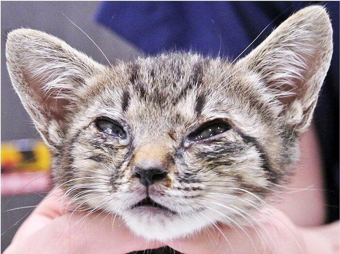 Infeksi mata pada kucing - KucingMania