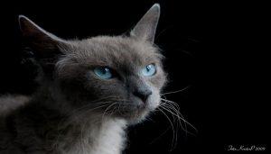 Jenis Kucing Langka