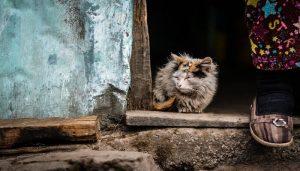 Calicivirus Pada Kucing