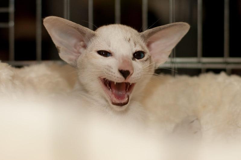 Kucing Seychellois
