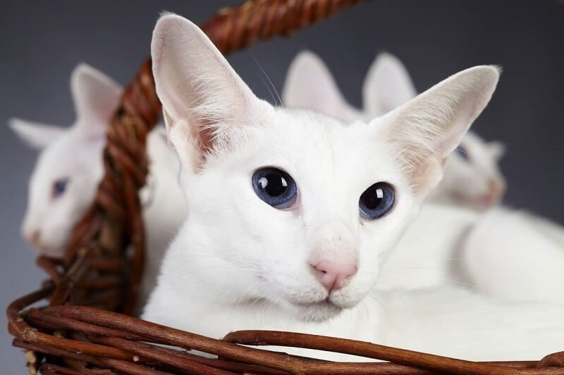 Kucing Colorpoint Shorthair