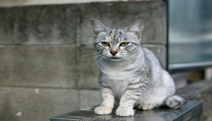 Kucing Australian Mist