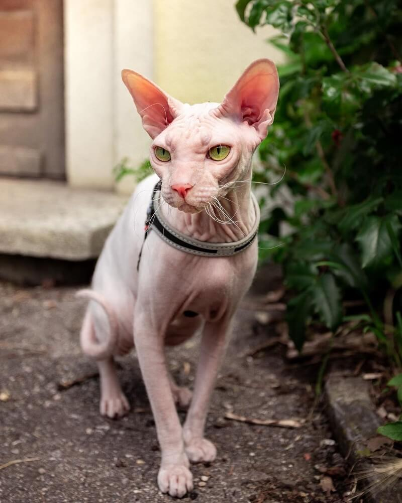 Kucing Donskoy