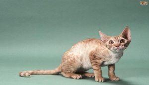 Kucing Oregon Rex