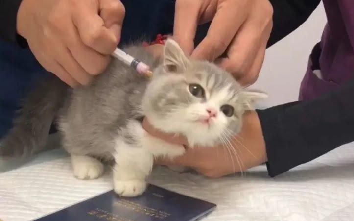 Virus Leukemia Kucing