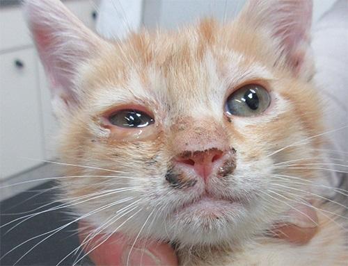 Virus Herpes Pada Kucing