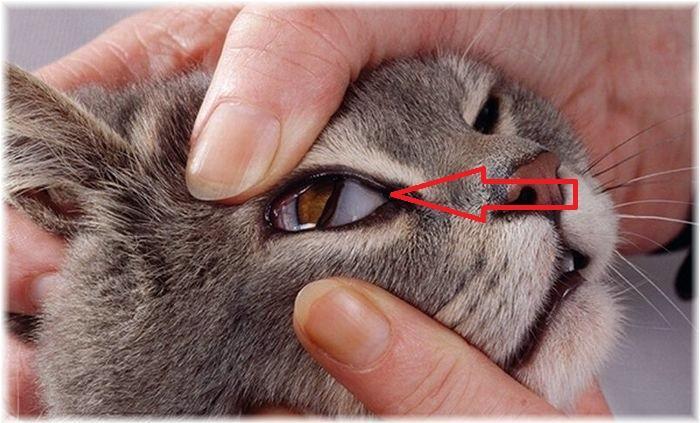 Mata Kucing Berselaput
