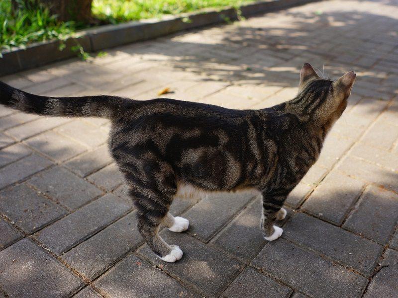 Kucing Marble Hitam