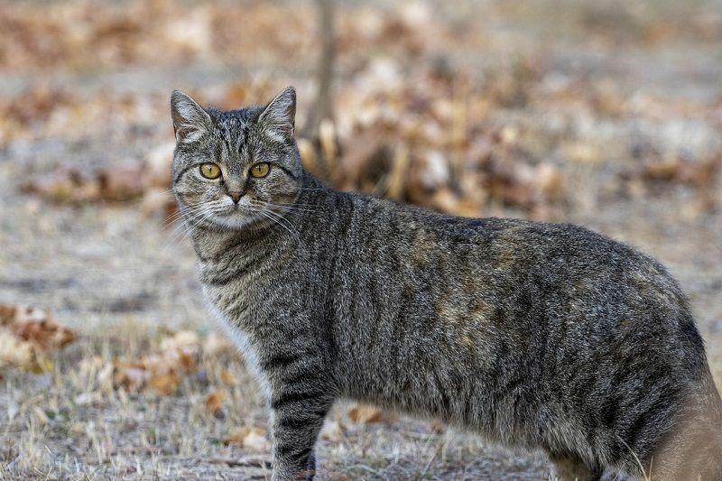 Kucing Tabby Abu-abu